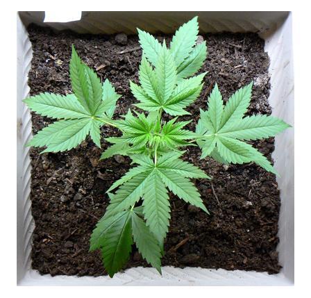 growing_marijuana