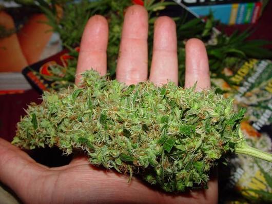 Proceso de floración de la marihuana