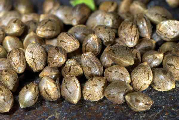 Cómo feminizar las semillas de marihuana